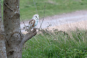 Resident Barn Owl perched on a tree branch.