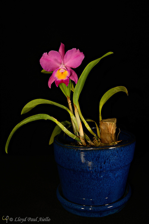 A mini Cattleya Laleliocattleya hybrid orchid bloomed by the photographer.  Cattleya is a genus of 113 species of orchids found from Costa Rica to tropical South America, growing throughout the Amazon region and to the south of Brazil..  The cattleya  is an epiphyte (air plant), which stores water in expanded stems called pseudobulbs. <br /> <br /> The genus was named in 1824 by John Lindley after Sir William Cattley who was the first to bloom a specimen of Cattleya labiata. William Swainson had discovered the new plant in Pernambuco, Brazil, in 1817 and shipped it to the Glasgow Botanic Gardens for identification.  Later, Swainson requested that a few plants be sent to Cattley who was able to bloom one a full year before the plants in Glasgow. It would be another 70 years before a Cattleya would be rediscovered in the wild because of a mixup in the assumed location of the plants. <br /> <br /> Cattleya are widely known for their large, showy flowers. The flowers of the hybrids can vary in size from 2 - 6 inches (5 -15 cm). They occur in all colors except true blue and black.  Cattleya have been hybridized for more than a century.  Beeding Cattleya with Laelia produces Laleliocattleya  and results in a more elongated closed &quot;cone&quot; that gracefully opens into the full lip of the blossom.  Laelia also contributes to the intense violet shade.