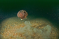A scallop, Pecten maximus, takes flight from a perceived threat.  Scallops swim by vigorously clapping the two halves (valves) of their shell and thus rapidly ejecting water from their mantle cavity in two jets either side of the shell hinge.  They do this briefly, moving only short distances.  Scallops are common on the megarippled gravel (gravel waves) that cover much of Lyme Bay.