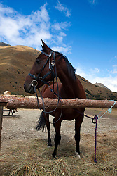 A dark colored horse tied to a post, Ben Lomond Station, Queenstown, Otago District, South Island, New Zealand