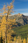 Subalpine Larch (Larix lyallii) in autumn, North Cascades Washington