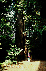 California: Redwood National Park.  At world's tallest tree.  Model released..Photo copyright Lee Foster, 510/549-2202, lee@fostertravel.com, www.fostertravel.com..Photo #: cageta101