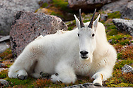 I captured this majestic shot of a Mountain Goat on Mount Evans as he rested in the evening light.<br />