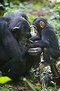 Chimpanzee <br /> Pan troglodytes<br /> Mother and playful one year old infant<br /> Tropical forest, Western Uganda