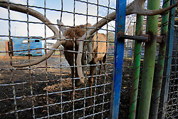 ROMANIA ONESTI 26OCT12 - A deer in captivity at the Onesti zoo which has been shut down due to non-adherence with EU regulations on the welfare of animals...jre/Photo by Jiri Rezac / WSPA..© Jiri Rezac 2012