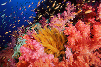 Anthiases swimming over a reef  covered in soft corals and a yellow crinoid feather star. Primarily Lyretail Anthias (Pseudanthias squamipinnis)   .Vatu-i-Ra, Fiji