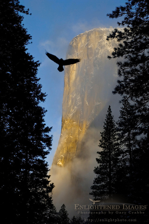 Bird flying through trees and morning light with clearing storm clouds on El Capitan,Yosemite National Park, California