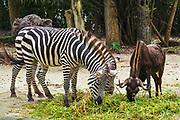 Zebra and water buffalo at the Singapore Zoo, Singapore, Republic of Singapore