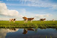 Nederland, Portengen, 16 juni 2008.Groene Hart van nederland. Koeien in de wei langs een sloot in de Polder Kortrijk. Mooi Hollands landschap met roodbont en zwartbont vee en soms een molentje op de achtergrond..Foto (c) Michiel Wijnbergh