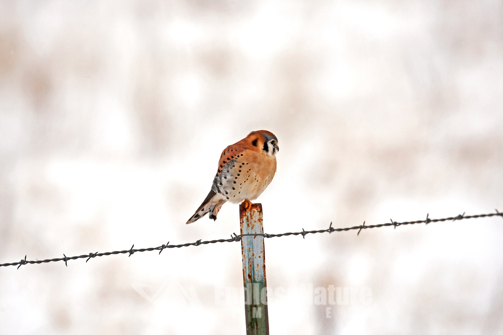 A male American kestrel rests on a fence post just after a small snow storm.
