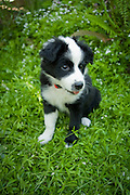 A two month old puppy, a mix of border collie and australian shepherd, at play in the garden.