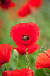 Papaver rhoeas - Field poppy, Corn poppy, Flanders poppy