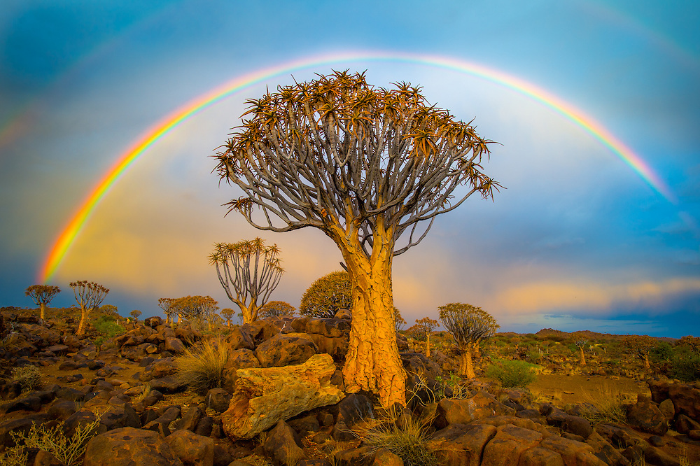 South Africs - Khalagadi Transfrontier Park<br /> Quiver tree forest