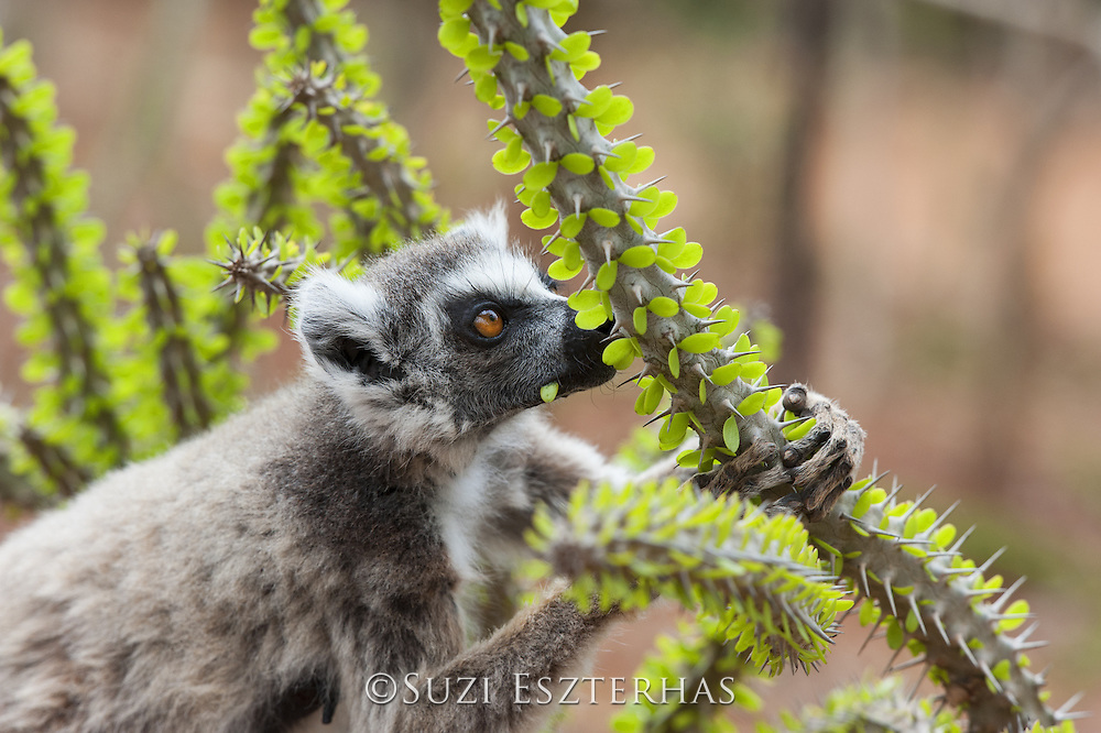 Ring-tailed Lemur<br /> Lemur catta<br /> Feeding on spiny forest tree (Alluaudia procera)<br /> Berenty Private Reserve, Madagascar