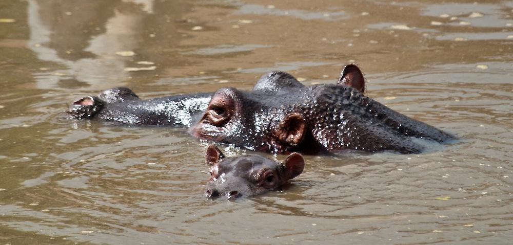 Mama hippo and baby - Kiboko