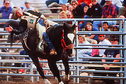 24 NOVEMBER 2001 - APACHE JUNCTION, ARIZONA, USA: Bareback bronc riding at the 2001 Superstition Mountain Stampede in Apache Junction, AZ, Nov 24, 2001. The rodeo is a fundraiser for charities in Apache Junction, which is about 40 miles from Phoenix. .PHOTO BY JACK KURTZ