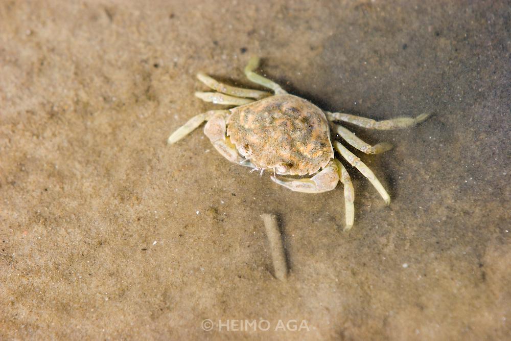 The Wattenmeer near Ho?rnum. Crab.
