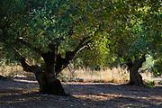 Olive tree plantation as seen on the Greek Island of Cephalonia, Ionian Sea, Greece