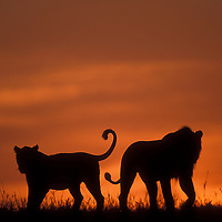 Africa, Kenya, Masai Mara Game Reserve, Silhouette of Lion pride(Panthera leo) walking across savanna at dawn