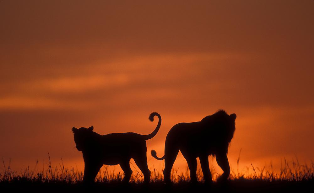 Africa, Kenya, Masai Mara Game Reserve, Silhouette of Lion pride(Panthera leo) walking across savanna at dawn