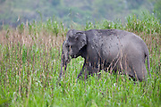 Elephant walking through tall grass.
