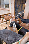 July 26, 2008 -- SNOWFLAKE, AZ: Nubian dairy goats wait to get into the milking parlor on the Black Mesa Ranch near Snowflake, AZ. Black Mesa Ranch is a 280 acre spread in the high desert near Snowflake, AZ. The ranch owners, David and Kathryn Heininger, run a herd of about 40 Nubian dairy goats and hand make artisan cheese from the goat's milk. It's a second gear for them, they retired from Tucson, AZ, where they bought and renovated  historic homes. The moved to the ranch in 2001 and started making and selling cheese shortly after the move. Their cheese is used in expensive restaurants in Phoenix and sold at natural food stores in Arizona. PHOTO BY JACK KURTZ