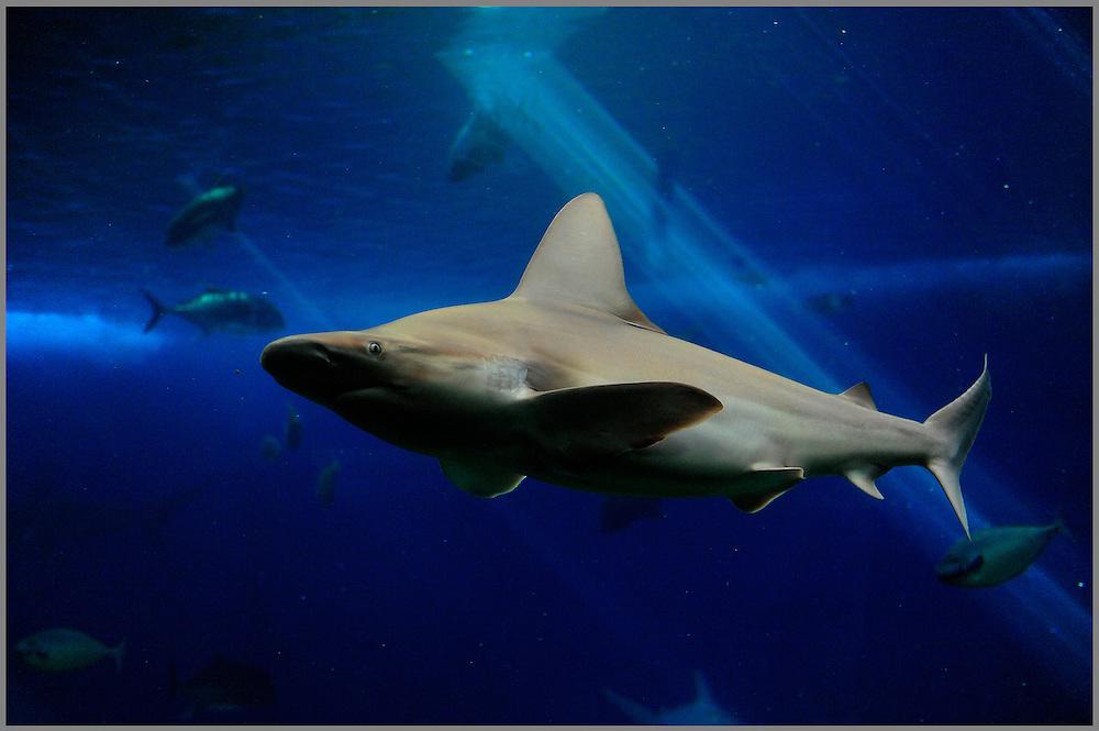 Maui, HAWAII:  Grey Reef Shark swimming inside tank at Maui Ocean Center. ©2010BillyGrimes