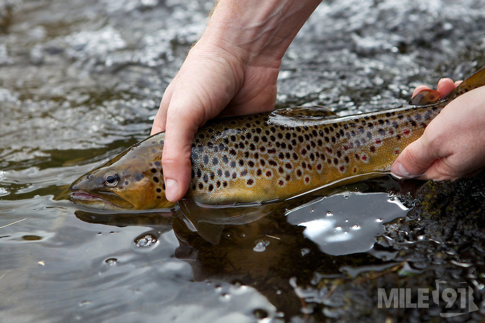 Fly fishing for wild brown trout in the Black mountains