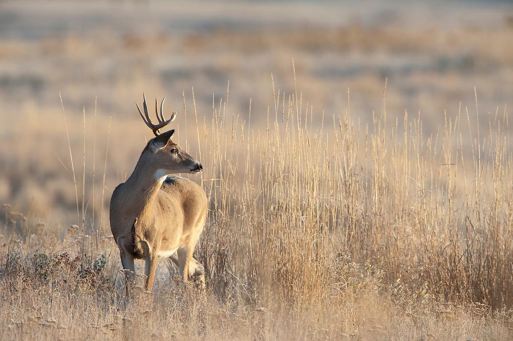 White-tailed Deer Buck - Odocoileus virginianus - Western Montana