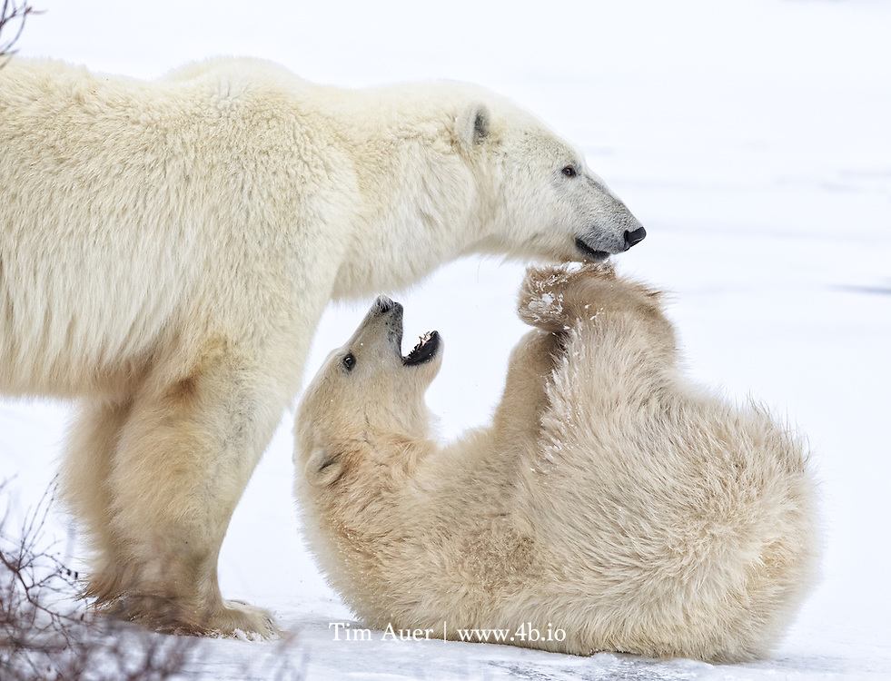 Churchill, Canada<br /> Mother and cub, play.<br /> A yearling polar bear cub plays with its mother on the frozen tundra near Churchill, Manitoba.<br /> Canon EOS 1DX, Canon EF 600mm f/4 L IS II USM<br /> 1/800s; f/8; 600mm; ISO 800<br /> Post Processing done using Lightroom 5.7.1 and NIK Color Efex to add contrast to highlights