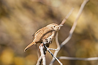 A House Wren perched on a branch next to a northern Utah stream this bird feeds mostly on insects.