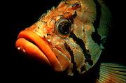 UNDERWATER MARINE LIFE EAST PACIFIC: Northeast FISH: Tiger rockfish Sebastes nigrocinctus