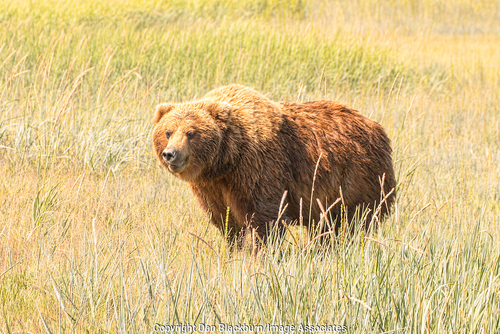 Grizzly Bear Out For An Afternoon Stroll in Alaska