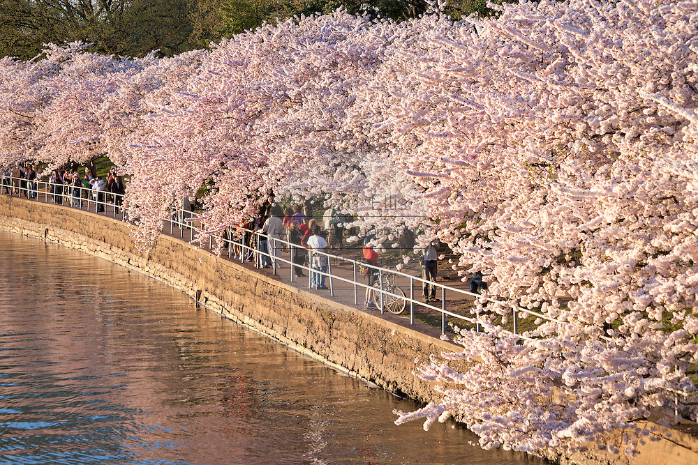 Thousands of tourists view the annual cherry tree blossoms along the Tidal basin in Washington, DC.