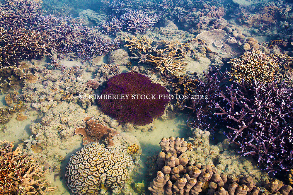 Beautiful anemones are part of a coral garden on a pool on Turtle Reef in Talbot Bay on the Kimberley coast.  The Kimberley has the highest diversity of coral species of any area in Western Australia.