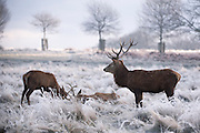 © Licensed to London News Pictures. 20/01/2015. Richmond, UK Deer graze in frost covered grasses in Richmond Park, Surrey today 20th January 2015. Britain is experiencing very cold temperatures. Photo credit : Stephen Simpson/LNP