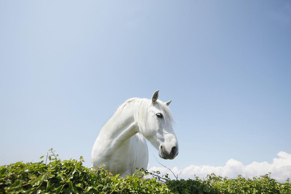 White horse Ireland Western coast Burren region