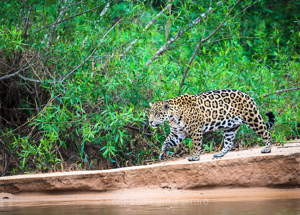A Jaguar explores the river bank in seach of something to eat.  The weather has been cold an rainy the last few days.  Most animals in the Pantanal hunker down during the cold, so there have been few options recently.
