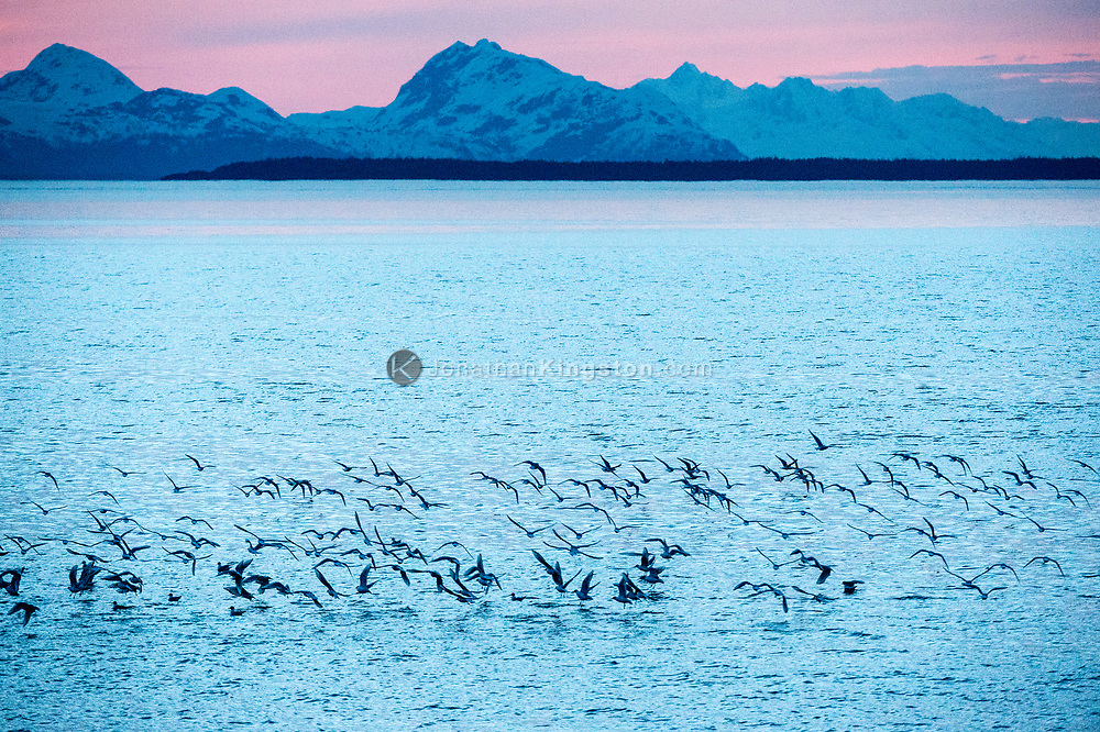 A flock of birds fly over the surface of the water in Icy Straight, AK.