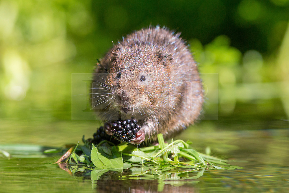 © under license to London News Pictures. 04/09/13 Kent UK. A water vole eats from a branch full of blackberries dangling over the river. Photographer Ian Schofield sat in a river for over 12 hours wearing waders along with his camera and tripod to capture these stunning shots of one of Britain's rarest animals, the water vole. He waited from 7am before a flurry of activity at lunchtime when one of the most endangered  mammals in the UK became hungry and left its burrow. Nearly 90% of water voles have disappeared in the last decade from the UK, mainly due to habitat loss and predators such as the American mink. The water vole's habitat can be found throughout England, Wales and Scotland. Photo credit should read IAN SCHOFIELD/LNP<br /> <br /> EDITORS NOTE IAN SCHOFIELD CONTACTABLE ON 07989749791