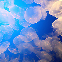 "Moon Jellies inside ""The Jellies Experience"" at the Monterey Bay Aquarium, which is located on Cannery Row in Monterey, California, on Friday July 13, 2012.(AP Photo/Alex Menendez)"