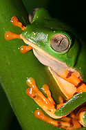 Alberto Carrera, Treefrog, Tropical Rainforest, Napo River Basin, Amazonia, Ecuador, South America, America