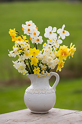 White jug filled with scented narcissi. Includes N. 'Geranium', N. 'Poeticus', N. 'Silver Chimes', N. 'Bridal Crown'