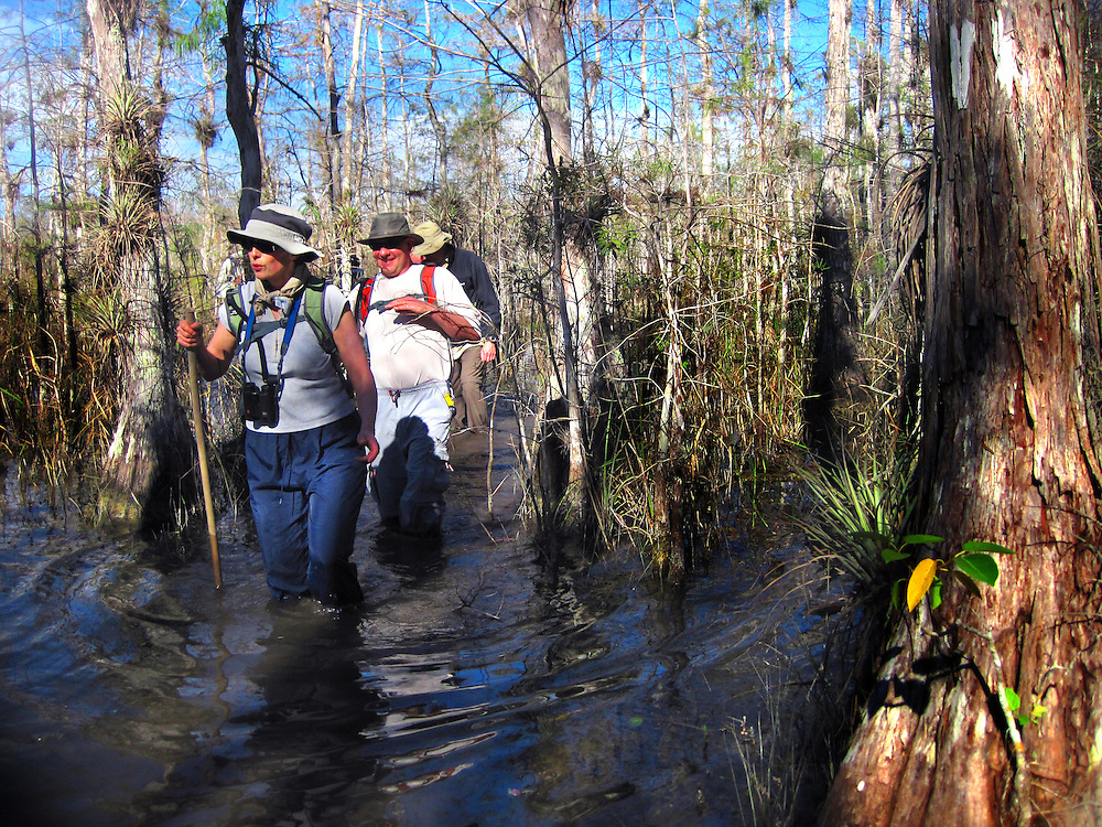 Hikers travel through clear, cool swamp water during a free swamp walk tour led by Ranger Isobel Kalafarski of Big Cypress National Preserve which departed from the Oasis Visitors Center. Summary:Free Ranger led trips at Big Cypress National Preserve.