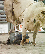 Photo by Phil Grout..But the massive Brahma bull gingerly avoids a crushing blow to Chad.and even lifts his hind hoves to spare this lucky rider of any injury.