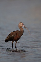 IBIS WADING IN A SHALLOW POND