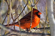 Northern Cardinal - Cardinalis cardinalis cardinalis sitting on a branch