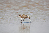 A Marbled Godwit feeds in a shallow pond at Bear River Bird Refuge in Utah.