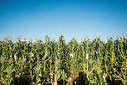 Ears of corn in the research field at the University of Wisconsin Madison are covered in bags to control the pollination process.