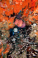 Diver peeking through coral encrusted arch..Shot in West Papua Province, Indonesia